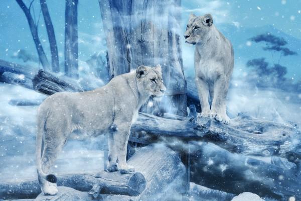 Bügelbild Löwinnen Applikation Aufbügler Patch Löwe